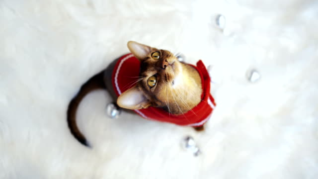 beautiful cute cat in a santa suit. - christmas background стоковые видео и кадры b-roll