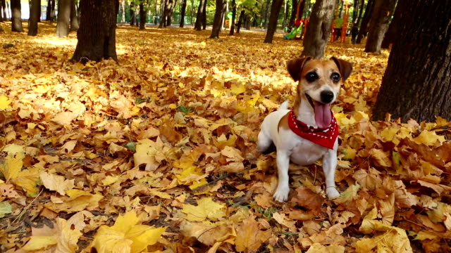 Beautiful cute dog. Autumn Walk. Video footage video