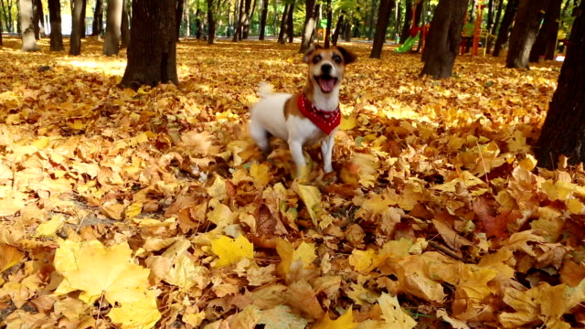 Beautiful cute dog. Autumn Walk. Video footage Beautiful actively Jack Russell terrier playing on the nature jack russell terrier stock videos & royalty-free footage