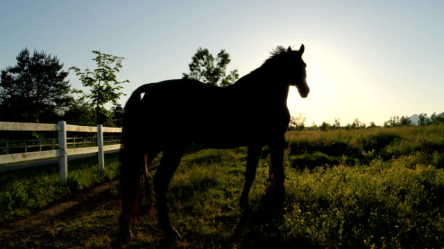 close up: beautiful dark bay horse on a pasture in big meadow field at sunset - criniera video stock e b–roll