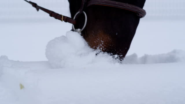 CLOSE UP: Beautiful dark bay horse searching with his muzzle for grass in snow video