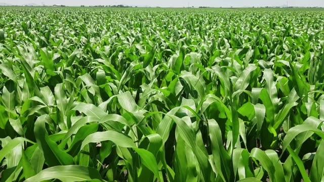 beautiful day green growing corn crop 2-3feet tall video
