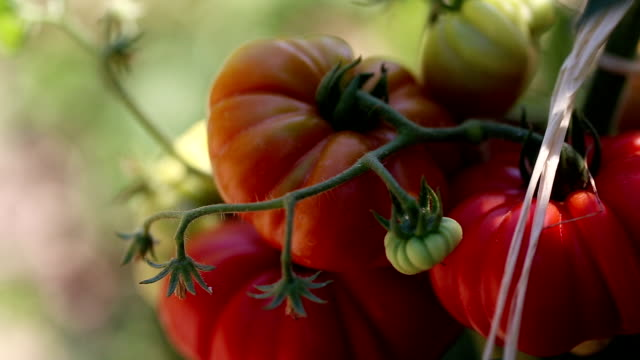 Beautiful & delicious homegrown tomatoes! Beautiful homegrown tomatoes homegrown produce stock videos & royalty-free footage