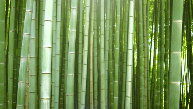 Beautiful Dense Bamboo Forest with Leaves and Sun Shining Through the Tree Tops.