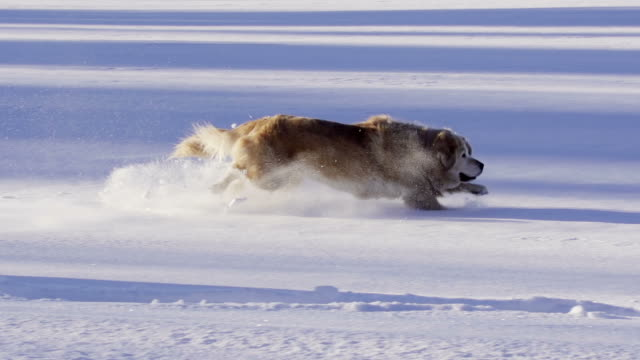 Beautiful dog jumps and plays in the snow video