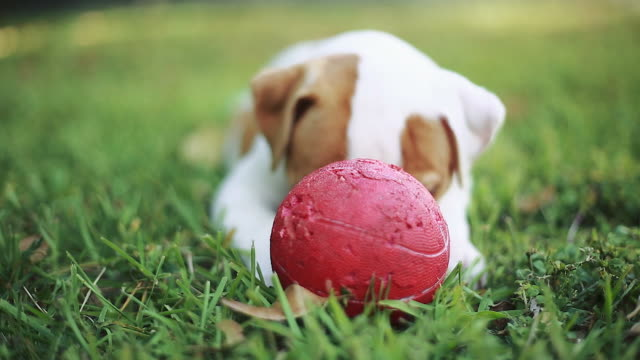 Beautiful Dog playing with a red ball on the grass video