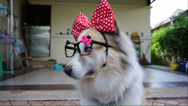 красивая собака в fancy очки и большим бантом - аксессуар для волос стоковые видео и кадры b-roll