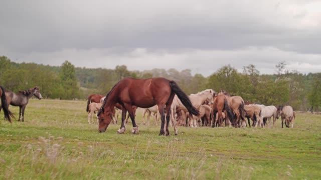 schöne hauspferde, die auf dem feld laufen. haustier. pferdezucht. - pferdeartige stock-videos und b-roll-filmmaterial