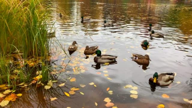 vídeos y material grabado en eventos de stock de hermosos patos y drakes nadan en el estanque de otoño - charca