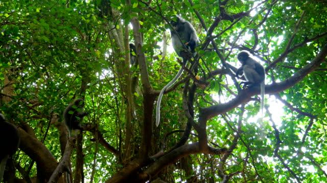 vídeos de stock, filmes e b-roll de linda folha fuscos macaco sentado na árvore em rainfores tropical - macaco