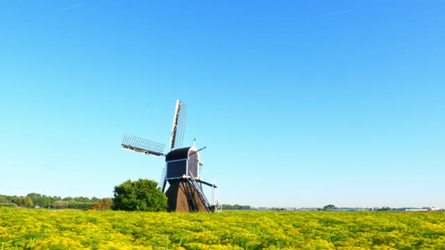 Beautiful dutch windmills and dill