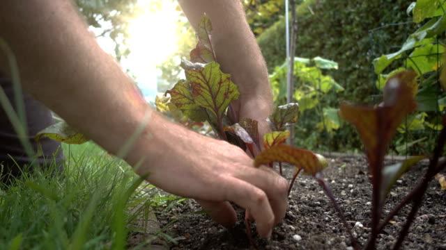 schönes ökologisches gemüse. hinterhof gurke. rote beete rabatt. eine männliche hand zieht eine rote bete heraus. - chenopodiacea stock-videos und b-roll-filmmaterial
