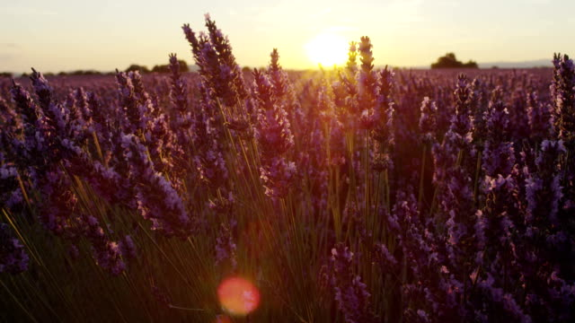 CLOSE UP: Beautiful endless lavender field at summer sunset