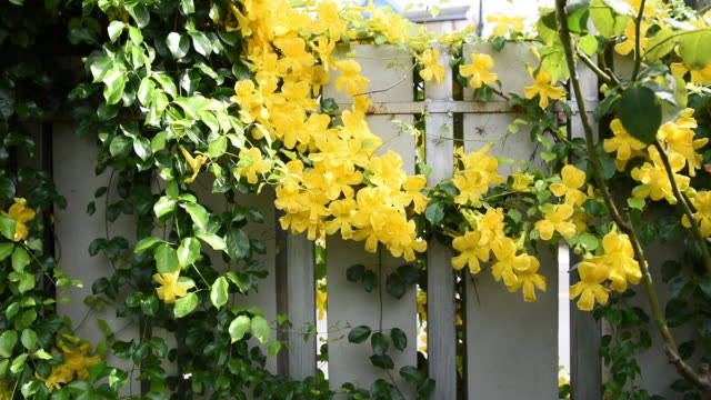 vídeos de stock e filmes b-roll de beautiful exotic tropical yellow flowers with green leaves wall backgrounds,cat's claw, catclaw vine, cat's claw creeper plants - hera trepadeira