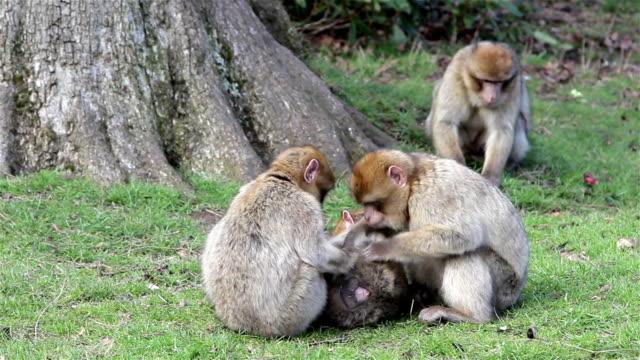 beautiful family of young monkeys groom and play - barbary macaques  of algeria & morocco - djurfamilj bildbanksvideor och videomaterial från bakom kulisserna