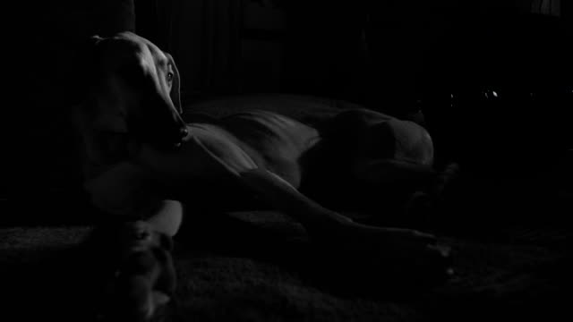 A beautiful female Sloughi greyhound dog lays in the dark with half of her face illuminated, looking up.