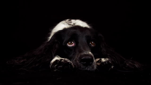 Beautiful female spaniel lies and is funny looks around on black background stock footage video video
