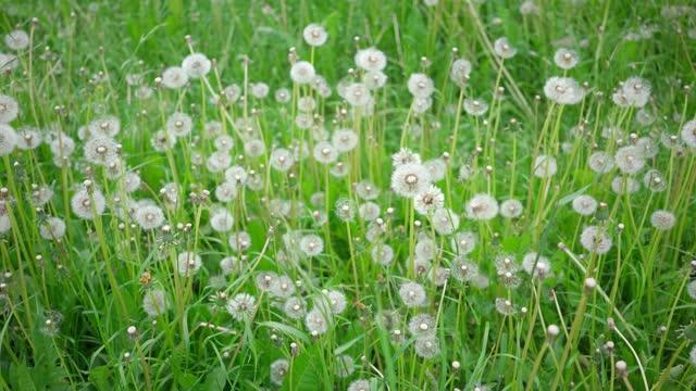 美しいフィールドタンポポ。風に揺れるふわふわした空中の花。夏時 - ふわふわ点の映像素材/bロール