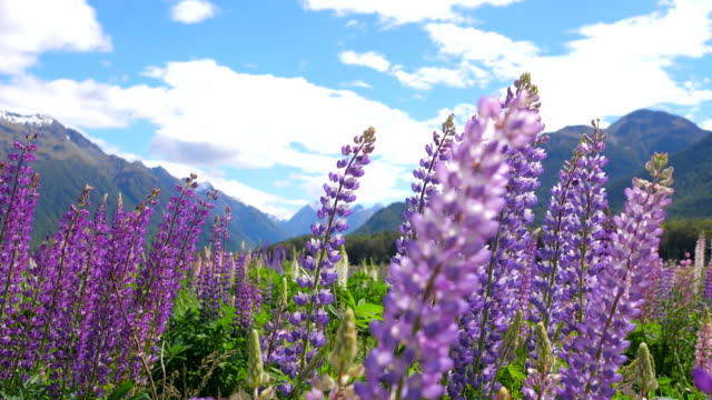 Beautiful field of flowers with lupins