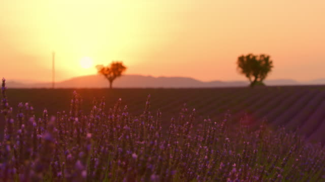 DS Beautiful field of lavender at dusk Dolly shot of a beautiful field of lavender at dusk. Plateau De Valensole. Provence-Alpes-Cote d'Azur. France. Shoot in 8K resolution. provence alpes cote d'azur stock videos & royalty-free footage
