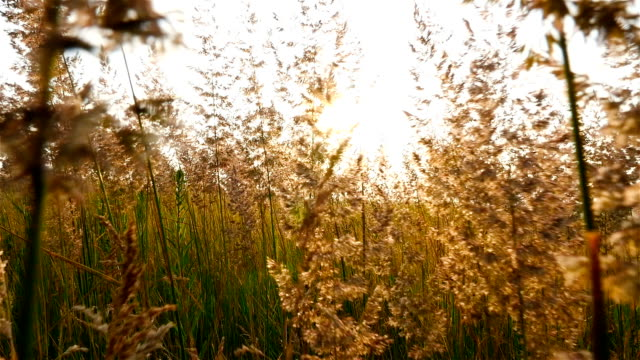 Beautiful field with grass. A strong wind shakes the grass. Beautiful rays of the sun. Slow-motion video