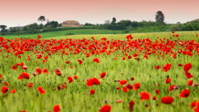 Beautiful fiels of red poppies near San Quirico d'Orcia at sunset, (Siena). Italy