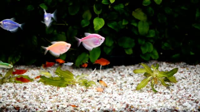 schöne fische im aquarienbecken. - süßwasserfisch stock-videos und b-roll-filmmaterial