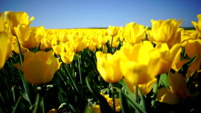 Beautiful flower bed of yellow tulips Beautiful flower bed of yellow tulips tulip stock videos & royalty-free footage
