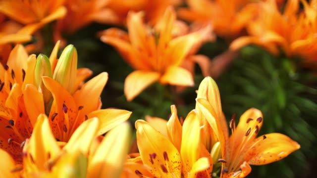 vacker blomma i thailand - blomsterarrangemang bildbanksvideor och videomaterial från bakom kulisserna