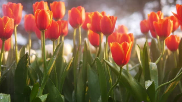 Beautiful flower orange tulips in garden of evening mist with spraying water on blurred bokeh flower field background in warm tone morning or evening sunlight, slow motion.