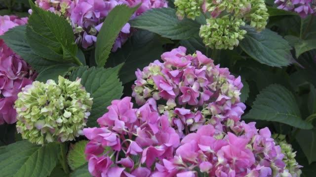 wunderschöne blumen. schönheit in der natur. hydrangea macrophylla - schönen busch von hydrangea blüht. - hortensie stock-videos und b-roll-filmmaterial