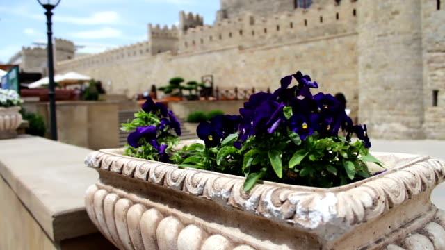 Beautiful flowers of blue petunia in flower-bed on the street against the background of the wall of the old city of Baku, Azerbaijan video
