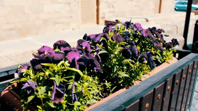 Beautiful flowers of blue petunia in flower-bed on the street of Baku, Azerbaijan video