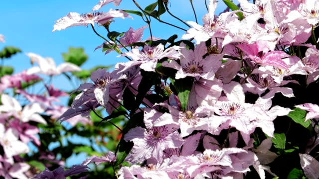 beautiful flowers of clematis in the rays of bright sun against the blue sky. - powojnik filmów i materiałów b-roll
