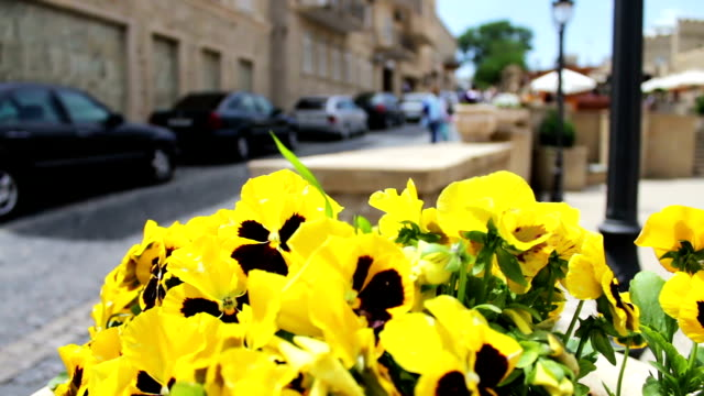 Beautiful flowers of yellow petunia in flower-bed on the street of Baku, Azerbaijan video