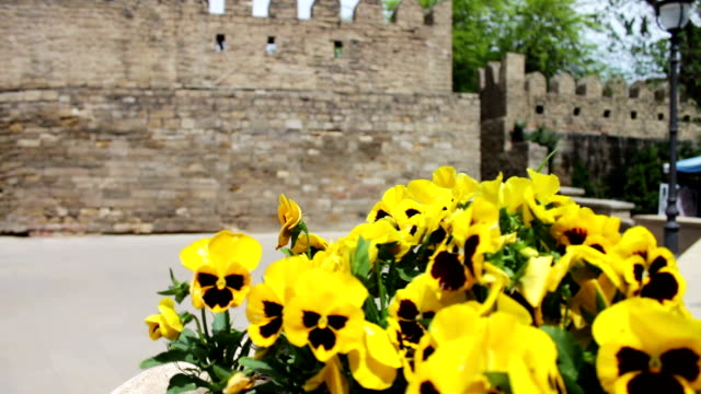 Beautiful flowers of yellow petunia in flower-bed on the street against the background of the wall of the old city of Baku, Azerbaijan video