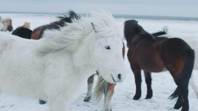 vídeos y material grabado en eventos de stock de hermosos caballos islandeses esponjosos. increíbles caballos islandeses en la temporada de invierno, caballos peludos adaptados al duro clima islandés - vikingo