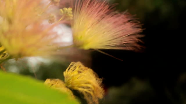 Beautiful Fluffy Pink Flowers On A Tree Stock Video More Clips Of