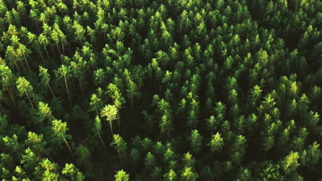 Beautiful forest aerial view pine trees green Aerial view - picturesque pine green forest in spring pine tree stock videos & royalty-free footage