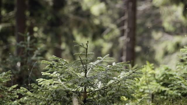 Schönen Wald Tanne in der Sonne – Video