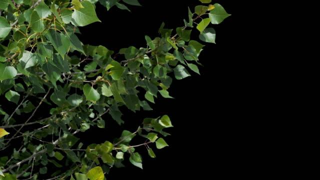 ein schöner, frischer grüner baum flattert im wind. auf einer blauen box aufgenommen und ausgeschnitten, so dass sie es ohne probleme mit dem alpha-kanal einfügen können. - ast pflanzenbestandteil stock-videos und b-roll-filmmaterial
