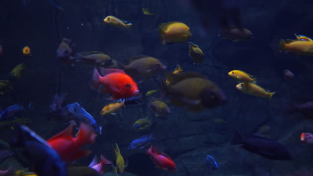 Beautiful freshwater fish colorful of freshwater fishes in aquarium snapping turtle stock videos & royalty-free footage