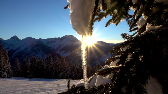 CLOSE UP: Beautiful frozen icicle on a snowy spruce tree at winter sunrise video
