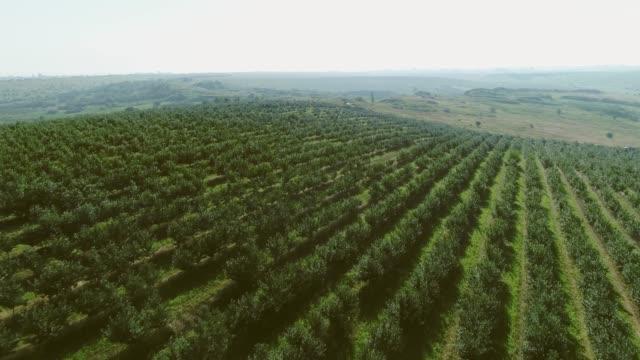 vídeos de stock e filmes b-roll de beautiful fruit garden. aerial view. - diospiro