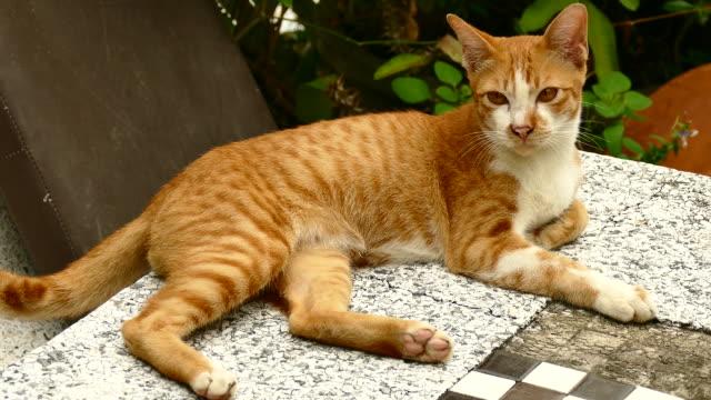 可愛すぎる、カメラのレンズに触れる美しい面白い猫 - ネコ科点の映像素材/bロール