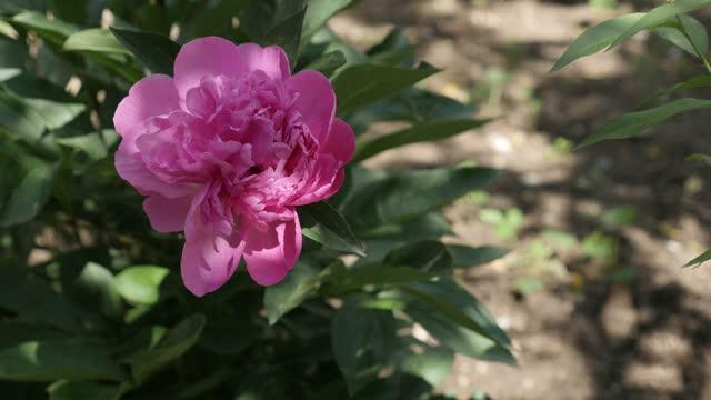 美しい庭パエオンリアラクティフローラ花ブッシュ4k - パフェ点の映像素材/bロール