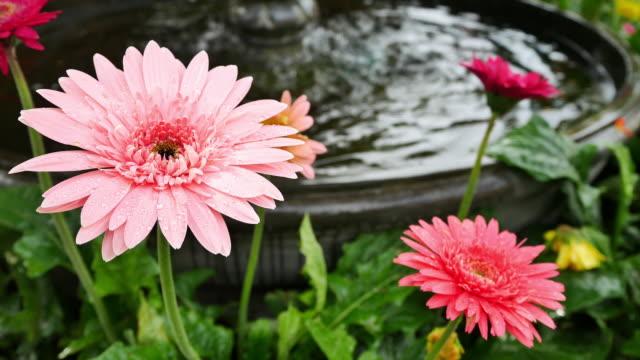 beautiful gerbera flower on the outdoor garden video