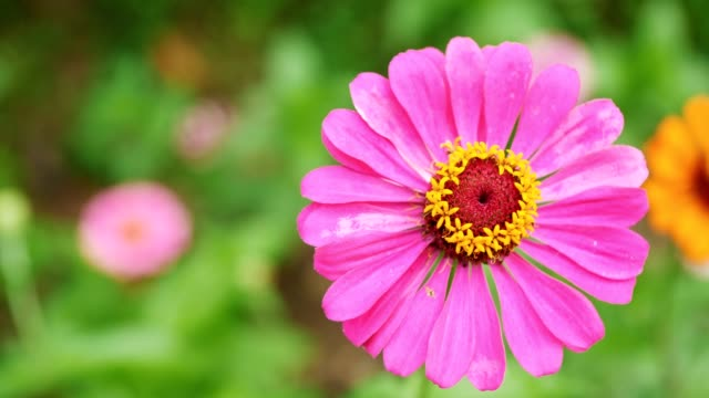 Beautiful Gerbera flowers on the green background in the park. video