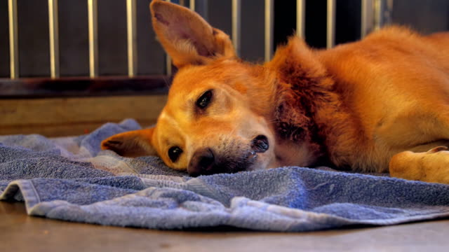 beautiful ginger homeless dog with clever and sad eyes