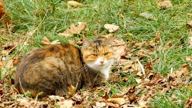 vídeos y material grabado en eventos de stock de hermoso gato tabby jengibre en hojas amarillas caídas - vibrisas